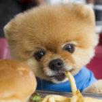 jiff dog pomerania
